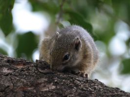 African Squirrel by samboardman