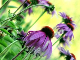 Coneflowers by caitlinwithasea