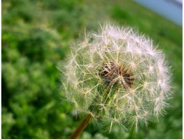 Dandelion by Fashionista07