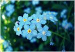 forget-me-not by ste-Liana