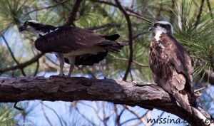 Osprey pair March 2010 by Aries18o18