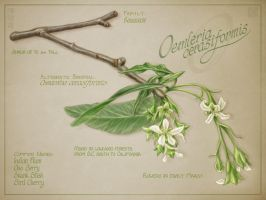 Indian Plum by cambium