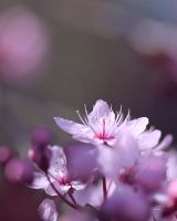 cherry blossoms 3 by 30-noir