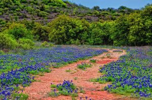 Field of Blue Bonnets by labba1