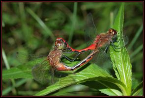 Mating Meadowhawks by Anachronist84