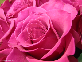 Roses are Pink by Erase-the-Silence