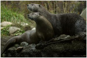 Attentive Otters by oOBrieOo