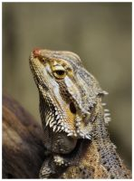 Bearded Dragon I by DysfunctionalKid