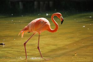 Flamingo by outlyer