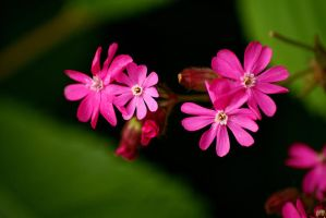 Red Campion... by TheBaldingOne