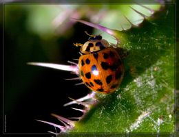 Asian Ladybug 40D0030211 by Cristian-M