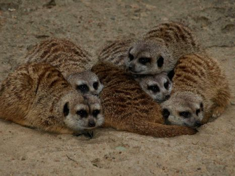Meerkat Huddle by toleary