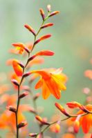 Crocosmia. 02 by AlexEdg