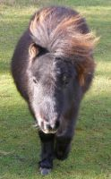 Black Miniature Horse 1 by Gracies-Stock