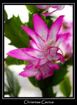 Christmas Cactus by chelley815