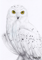 Snowy Owl Drawing by KhaliaArt