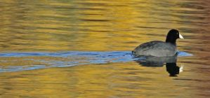 A Coot Reflects On Fall by Merhlin