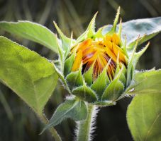 Sunflower Bud by MayEbony