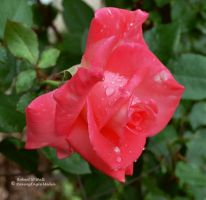 Morning Rose 2 by RavingEagleMedia