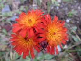 Orange Hawkweed flowers by buttercupminiatures