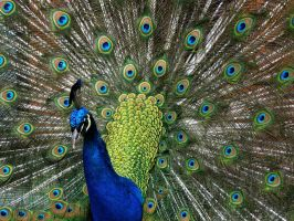 Peacock in Full Display by TruemarkPhotography