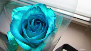 Blue rose by AnikoRi