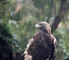 Golden Eagle by Dewheart85