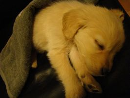 Golden Retriever Puppy by bezosjecajna