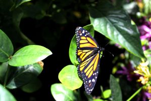 Resting Monarch by Daemare