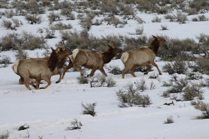 Elk Crossing_0145 by HeartoftheWild