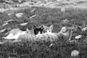 The persian cats by O-Renzo