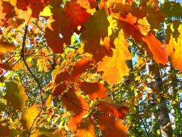 blazing oak leaves by crazygardener
