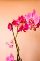 Pink Orchid by Schnubble