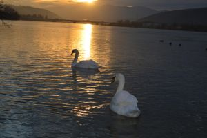 Swans in sunset 3 by A1Z2E3R