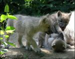 Arctic wolves pups: murder by woxys