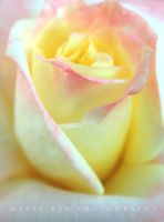white yellow rose by malaydesigns