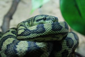 Snake #4 (picture 2) by Obizu