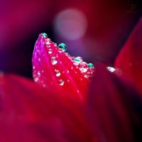 Water Drops on a Dahlia II by da-phil