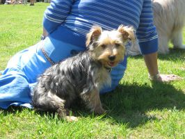 Yorkie by DigiPhotography