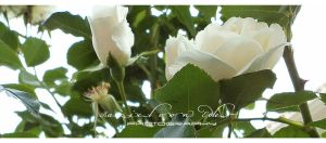 White Roses Garden II by RazielMB-PhotoArt