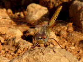 Dragonfly At Rest by Maltese-Naturalist