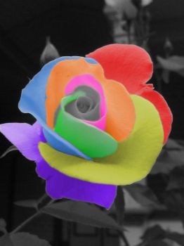 Rainbow Rose by Aless-8074
