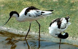 Avocets by April-Snowflake
