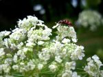 Queen Anne's Lace by RaindropsOnRoses21