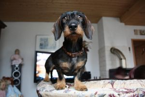The dachshund by Datts