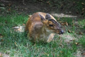 muntjac 1.2 by meihua-stock