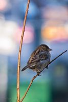 Sparrow on a twig by traianvh