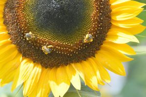 Pollen Station, Bees and Sunflower 19 by Miss-Tbones