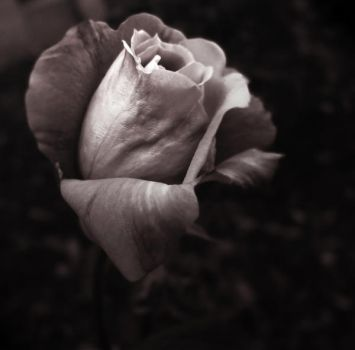 Black and White Rose by pixi3angeldreamx