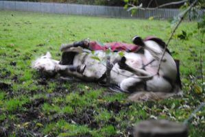 Grey Horse Rolling (7) by emmys-stock